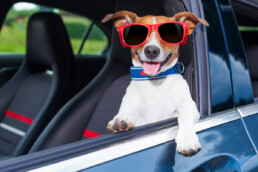 dog with sunglasses driving car